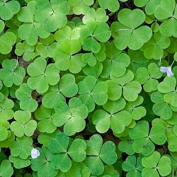 Травянистое растение кислица